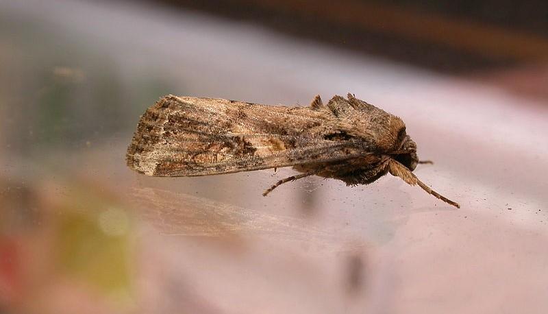 800px-Spodoptera_frugiperda1