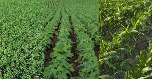 alfalfa_Soybean_Maize