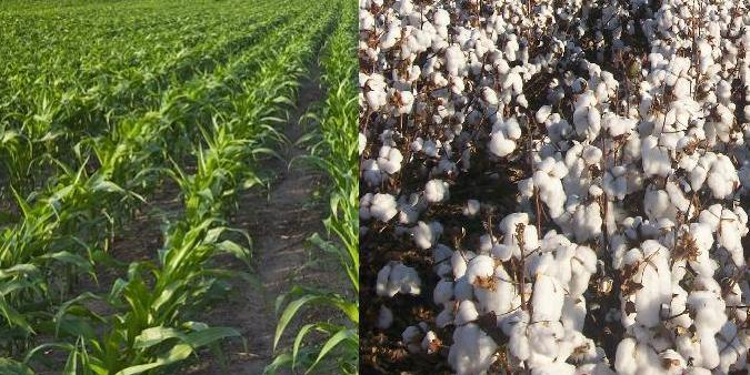 soybean_cotton