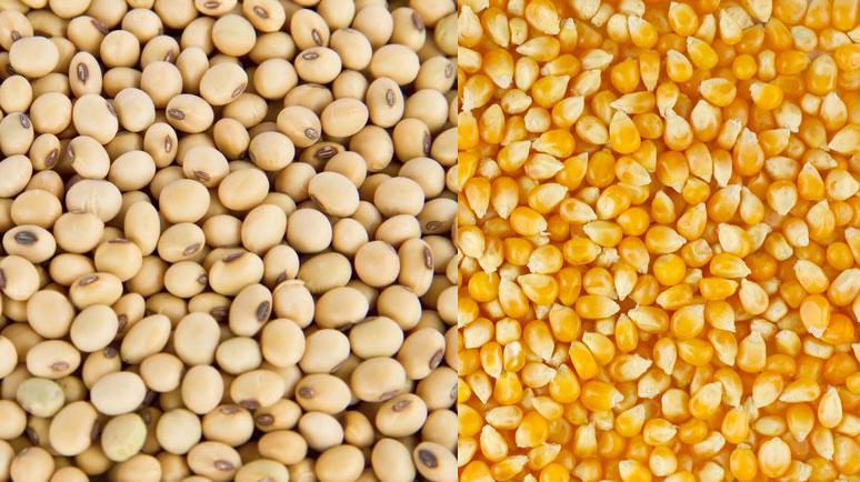 soybean_maize 3